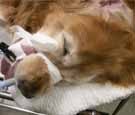イヌの皮膚腫瘍切除1