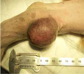 イヌの皮膚腫瘍切除2