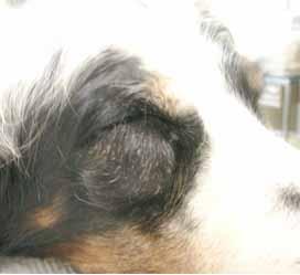 イヌの下眼瞼1