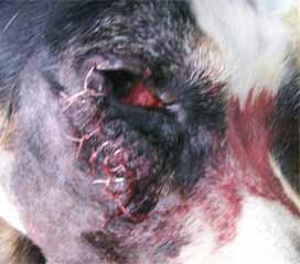 イヌの下眼瞼2