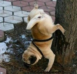 pug_stunt_peeing_pugs_funny.jpg