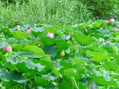 2011.7.27 蓮の花
