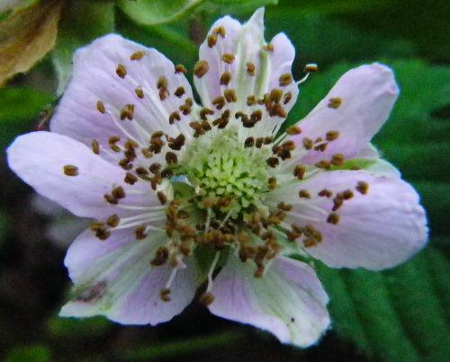 ぶらっくべりー花