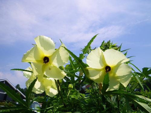花オクラ828