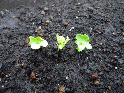 大根の芽98