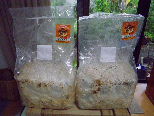 キノコの菌糸