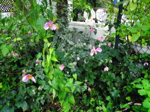 シュウメイ菊104の1