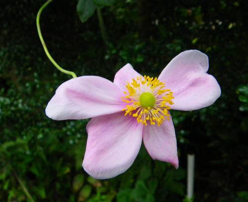 シュウメイ菊1