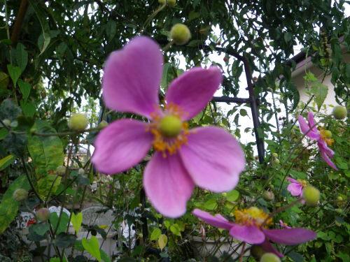 シュウメイ菊1018
