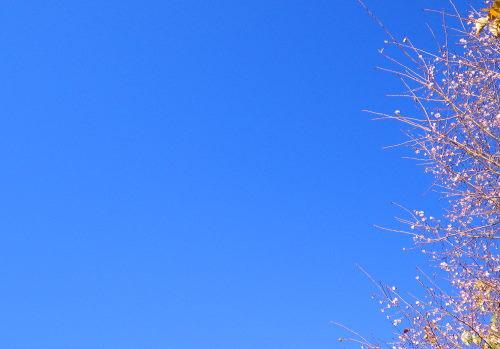 寒桜1103