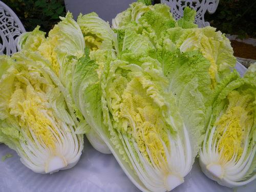 白菜1113