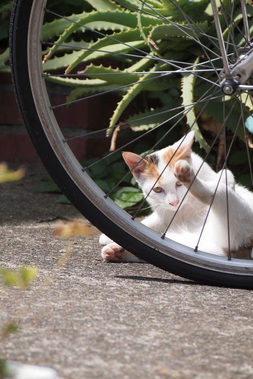 車輪の下の白猫 (C)東京ノラ猫&家猫カフェ produced by 表参道・青山・源保堂鍼灸院