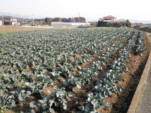 ぶろっこりー畑78