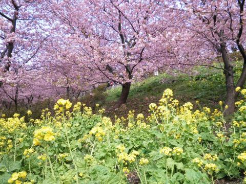 菜の花と桜46