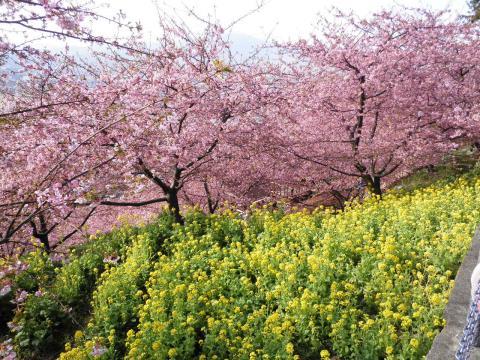 菜の花と桜06