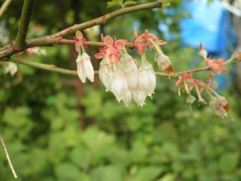 ブルーベリーの花15