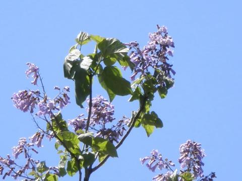 桐の花56