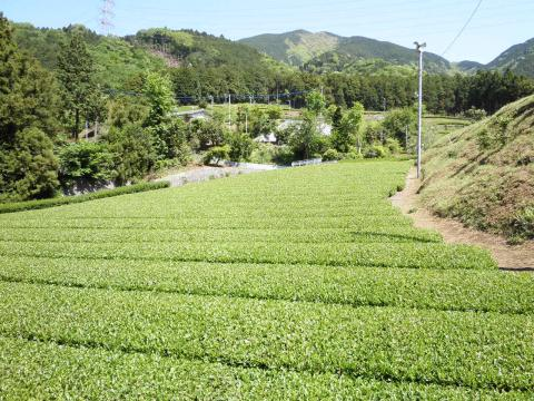 晩春の茶畑33
