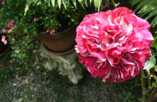 シボリのようなバラ