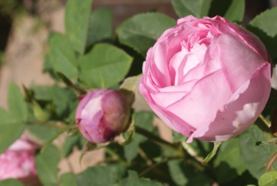 つぼみの様なバラ