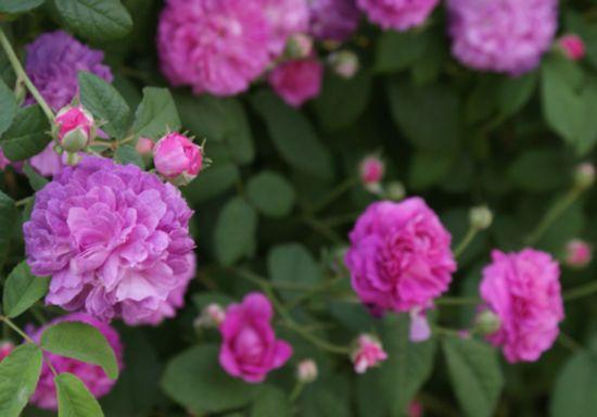 ちょい紫バラ