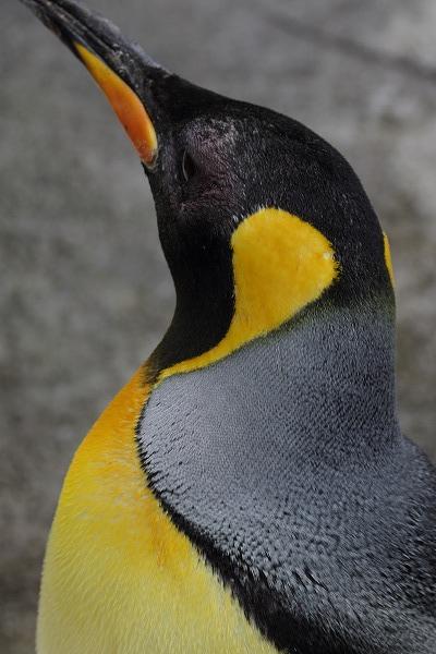 TobeZOO King Penguin 141129 02