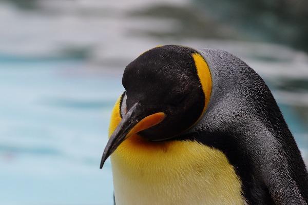 TobeZOO King Penguin 141129 01