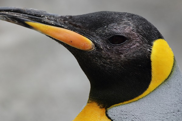 TobeZOO King Penguin 141129 03