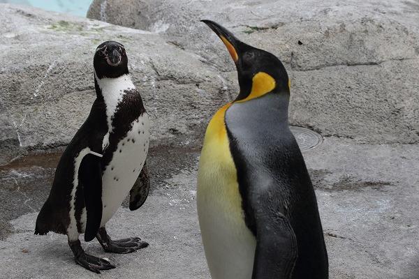 TobeZOO King Penguin 141129 04