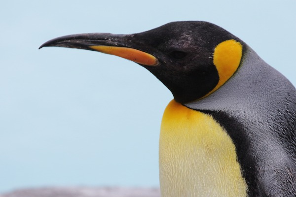 TobeZOO King Penguin 141129 05