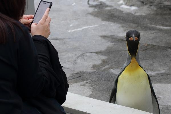 TobeZOO King Penguin 141129 06