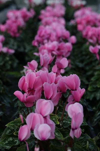 花き研究指導室 シクラメン 141214 001