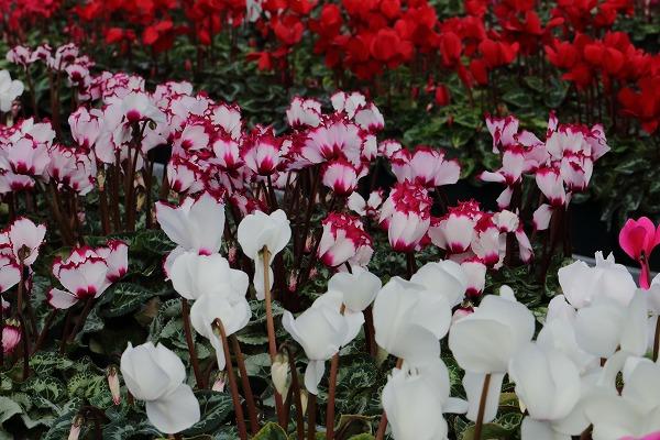 花き研究指導室 シクラメン 141214 002