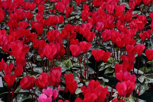 花き研究指導室 シクラメン 141214 004
