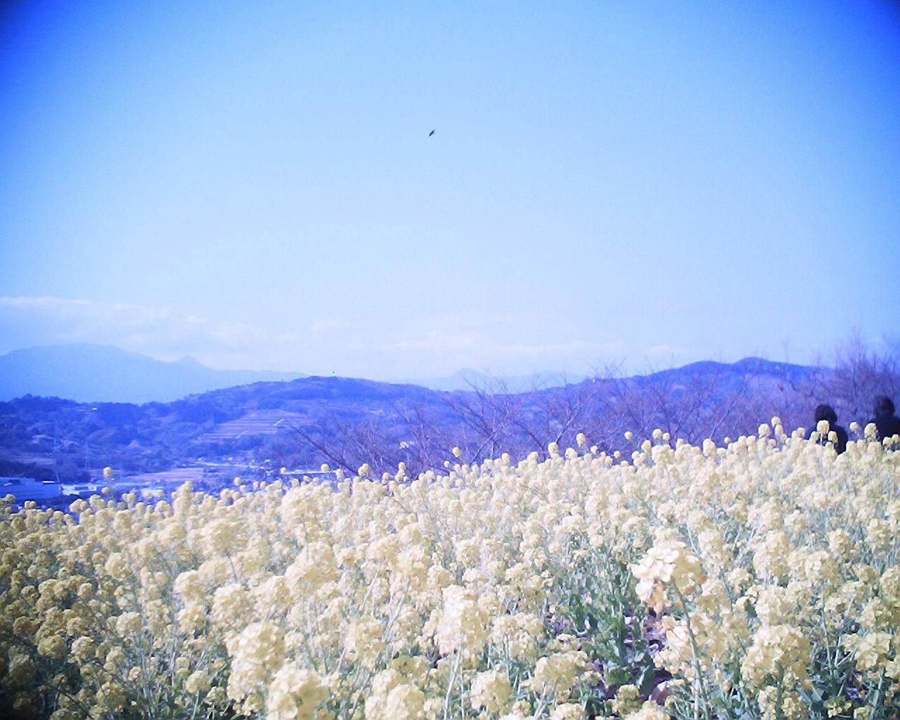 菜の花と富士山:R2