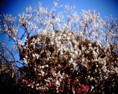 紅梅と白梅に月:Entry