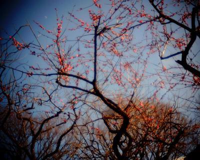 紅梅と月見:Entry