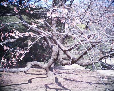 やっと咲いた寒桜:新宿御苑:R2
