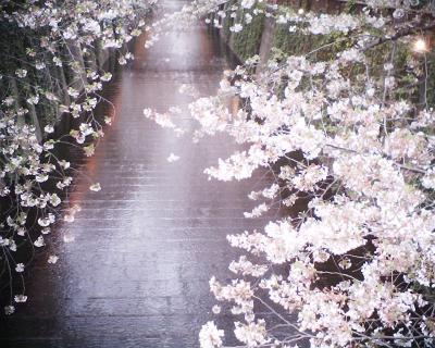 目黒川の桜:R2