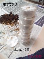 亀オオクワ3
