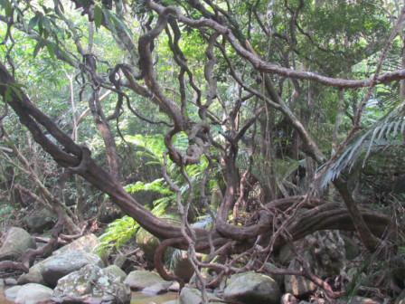 モダマの木