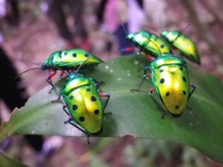 黄金黄緑虫
