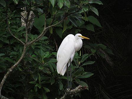 白サギ樹上
