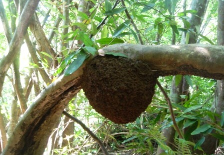 アカショウビンの巣