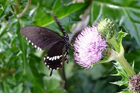 アザミと黒蝶
