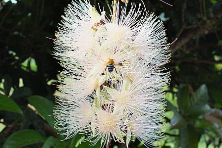 サガリバナの蜂