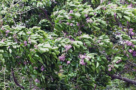 8月28日庭の紫の花