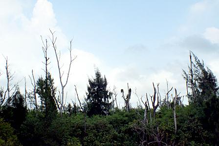 台風13号名蔵枯木