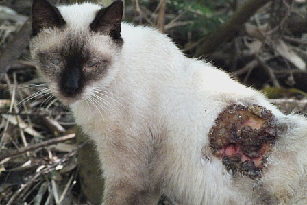 傷ついた猫