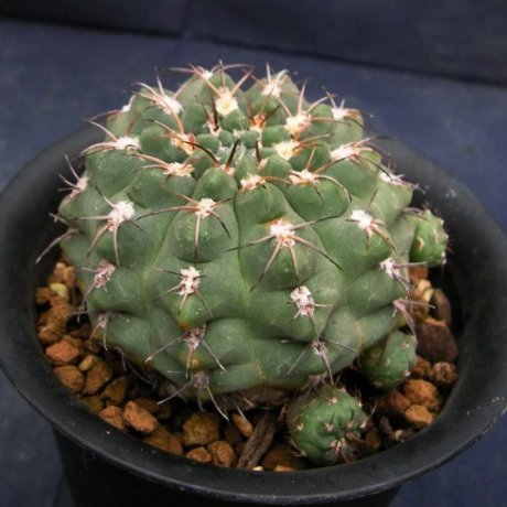 110616-Sany0001-G. alboareolatum v. ramosum-BKS 50-3---Piltz seed 902